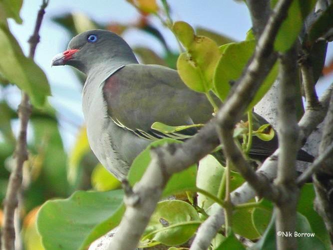 Pemba green pigeon