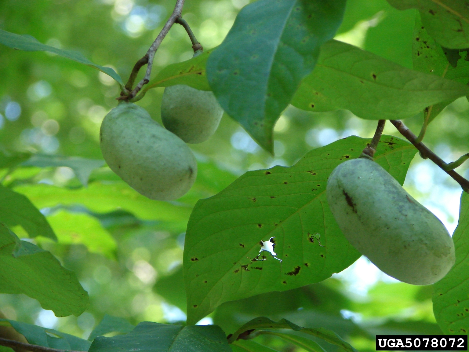 Pawpaw Fruit Troy Evans Great Smoky Mountains National Park Bugwood Org