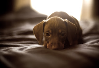Chocolate Miniature Daschund