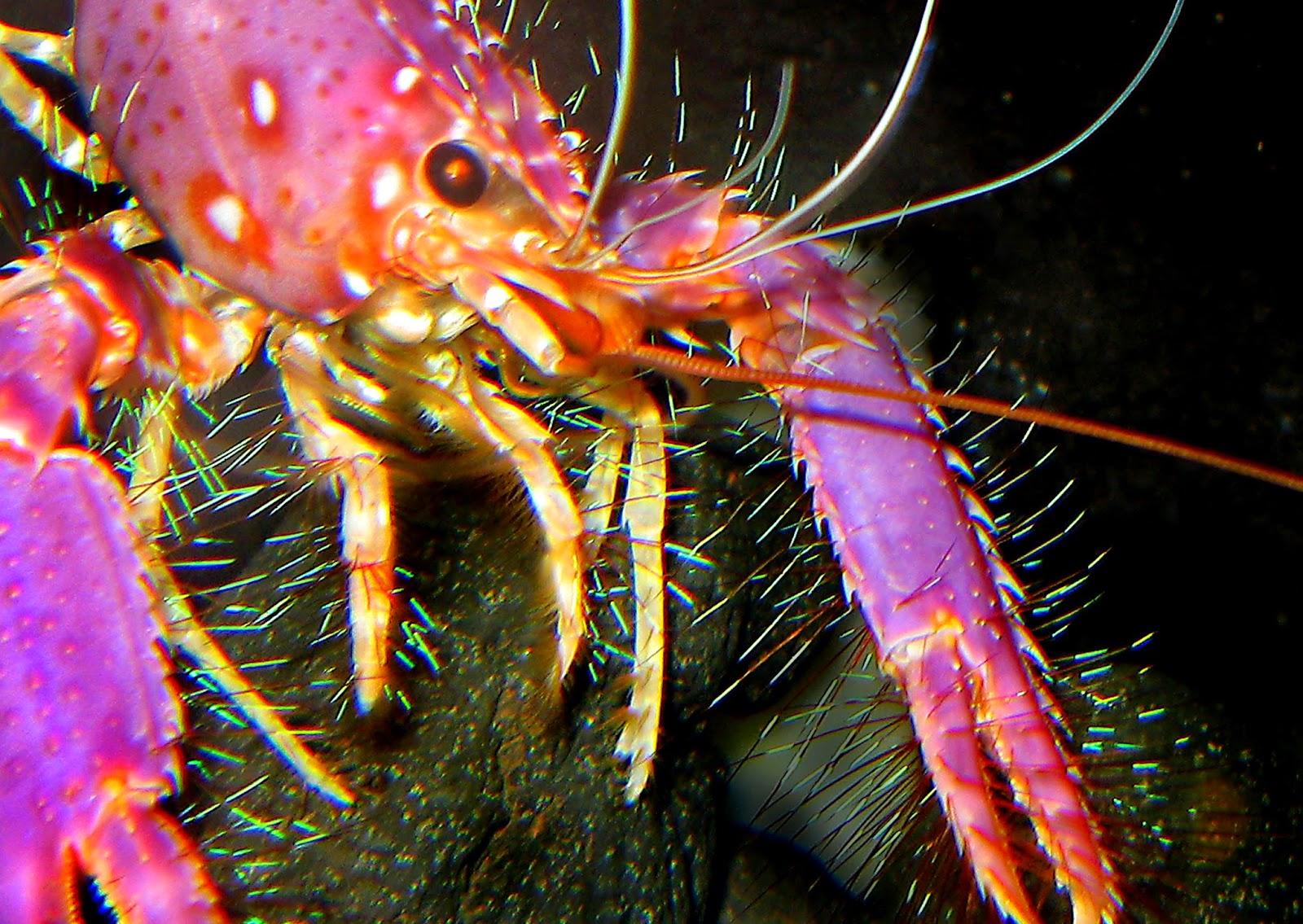 Hawaiian Lobster by Vic DeLeon