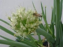 Minhas Plantas - Cebolinha Verde