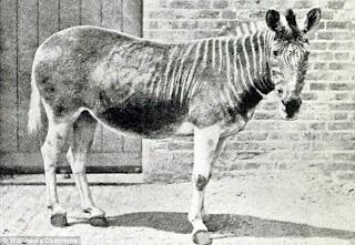 zebra polos