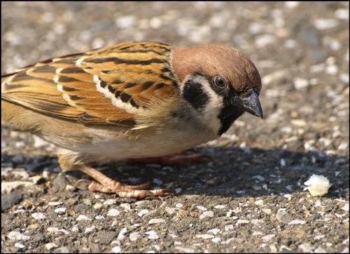 Gambar Cara Merawat Burung Gereja