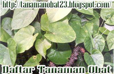 Manfaat Dan Khasiat Tanaman Brotowali  (Tinospora crispa (L.) Miers.hen jin t)