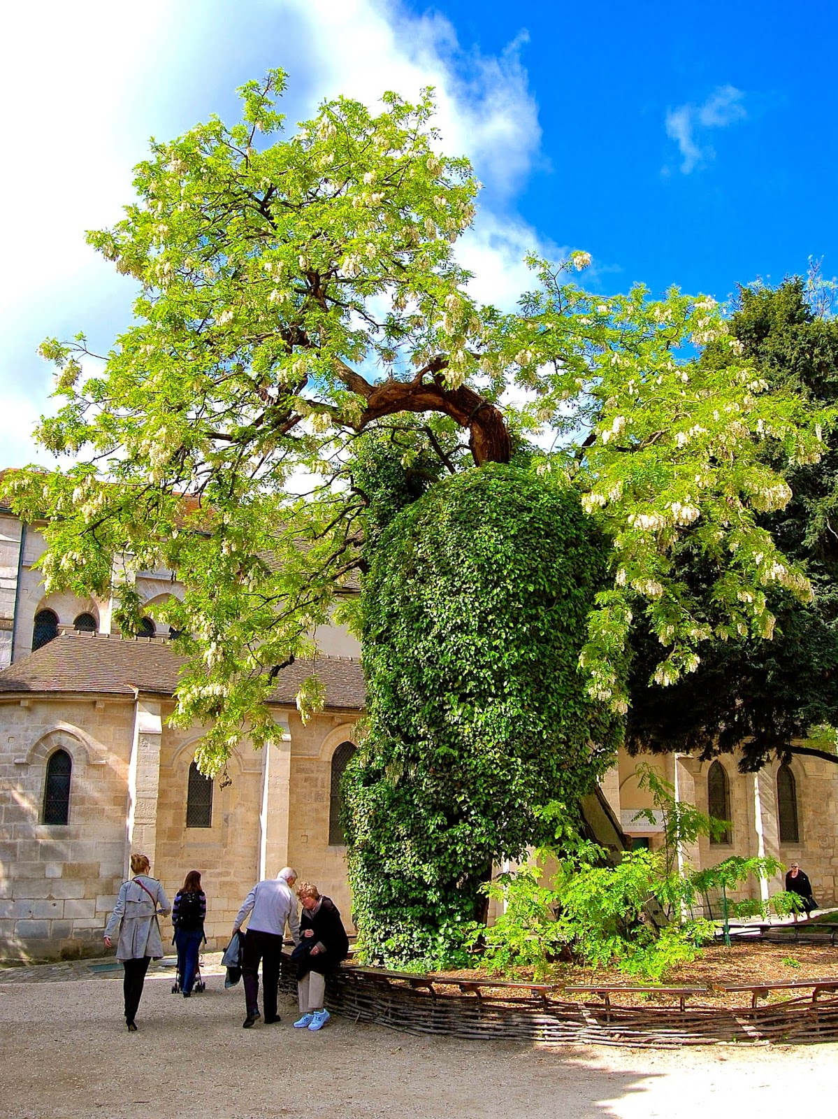 Oldest tree in Paris, Robinia pseudoacacia, Square Rene Viviani, 5th arrondissement