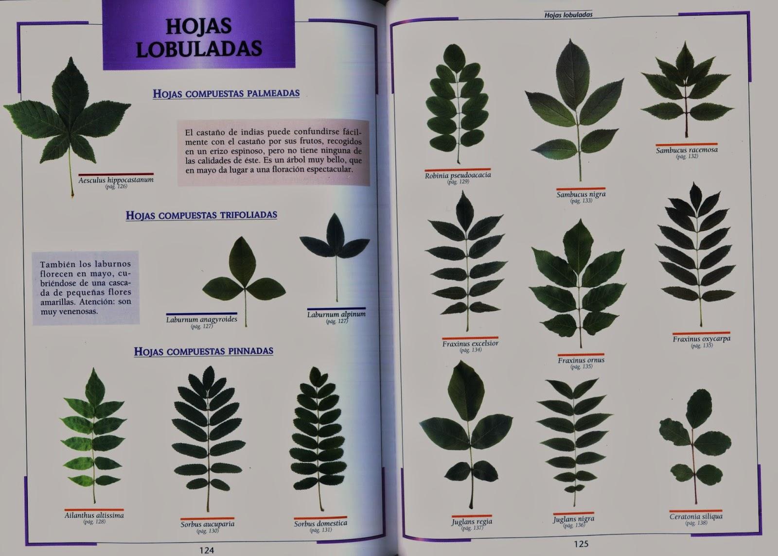 Txirpial muestrario para identificar hojas for Arboles de hoja perenne con sus nombres