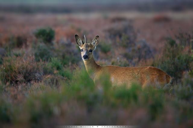 Reebok met één hoorn - Roe Deer with one antler - Capreolus capreolus