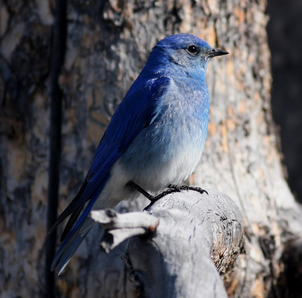 the mountain bluebird essay Note: if you have mountain bluebirds, i strongly recommend myrna pearman's book, mountain bluebird trail monitoring guide (available from nabs), which is the source of much of the species-specific information below.