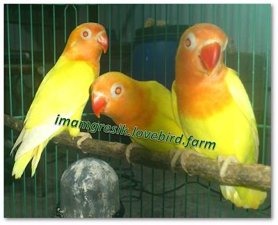 imamgresik.livebird.farm