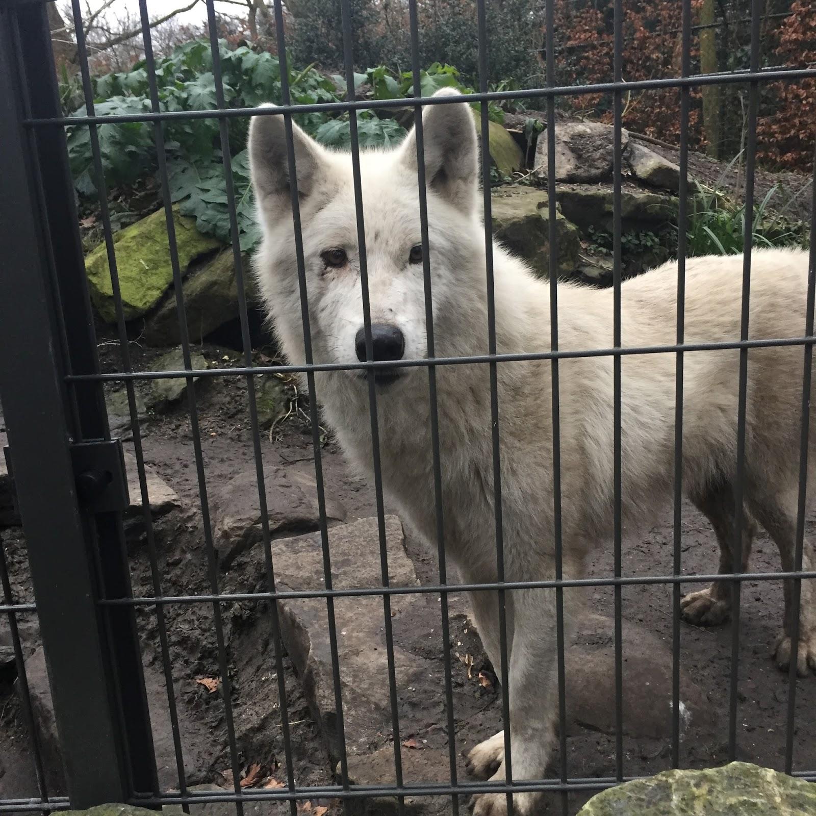Wolf, Artis Zoo Amsterdam