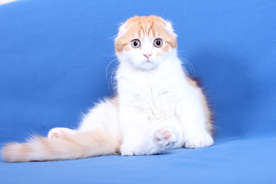 gambar kucing Scottish Fold