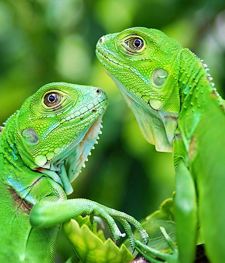 Genetic Generation Reptil Community Sragen Perbedaan Iguana