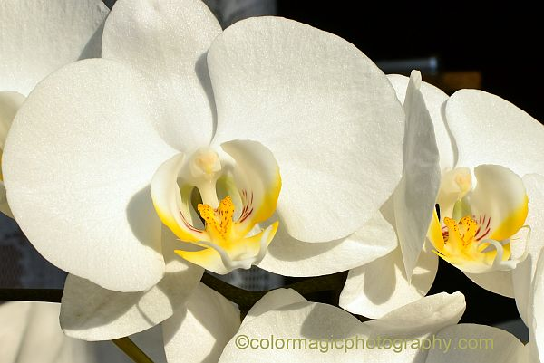 White Phalaenopsis - closeup photo