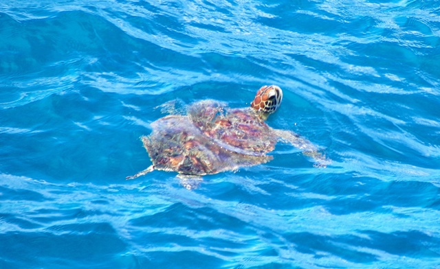 Tortuga verde de la Gran Barrera de Coral australiana