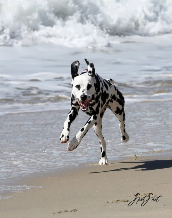 How fast can Dalmatian run?