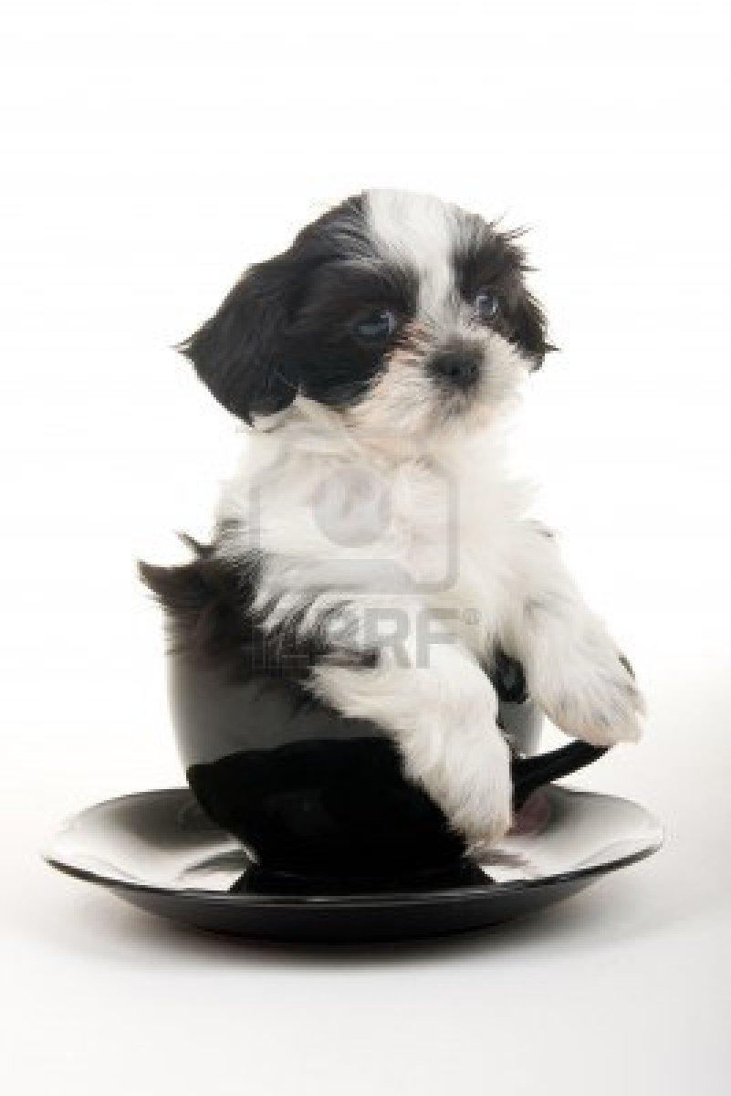Cute Puppy Dogs: black and white shih tzu puppies