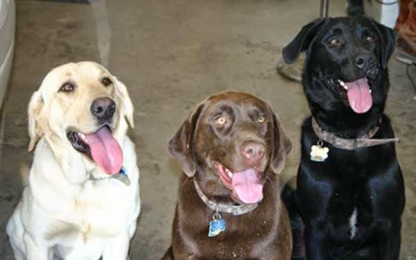 diferentes clases de perros labradores