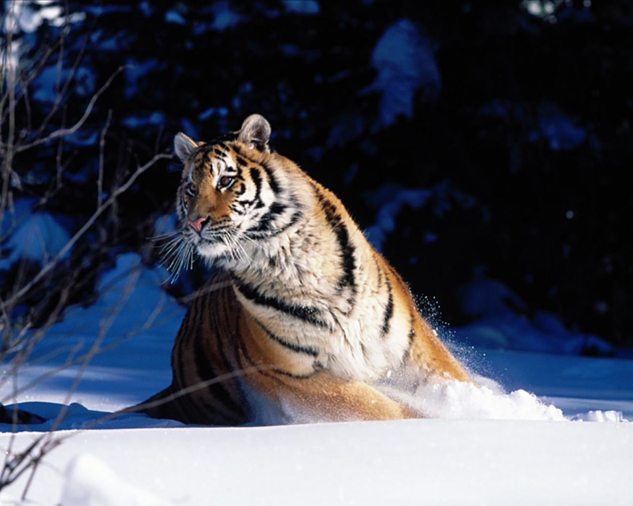 http://4.bp.blogspot.com/-yZEmsSVMe4s/UFXwxNaqLMI/AAAAAAAAEO0/4cbArGSDaqE/s1600/siberian-tiger-in-snow.jpg