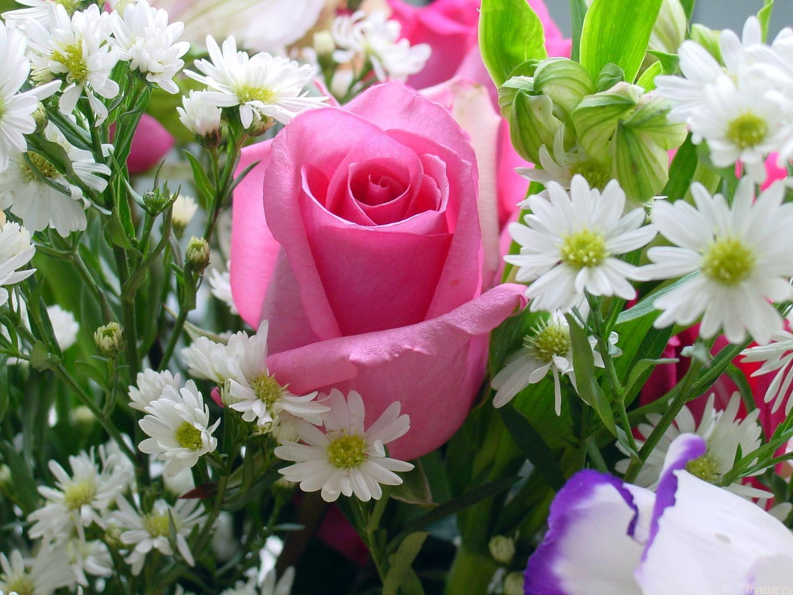 rose pink wallpaper Photo