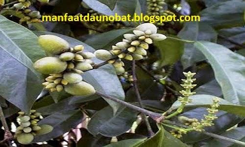 khasiat daun dan biji melinjo