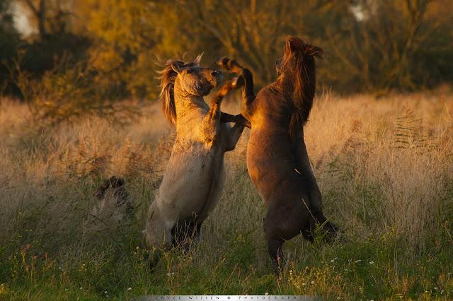 Vechtende Koniks - Konik Horse - Equus caballus caballus