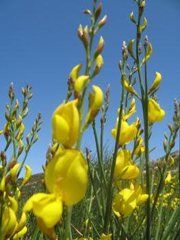 Spartium Junceum (Ginestra comune)