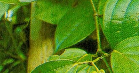 kelayakan finansial usahatani tanaman lada Pengertian layak dalam penelitan ini adalah kemungkinan dari gagasan suatu usaha yang akan dilaksanakan dapat memberikan manfaat dalam arti finansial maupun sosial benefitdengan adanya analisis kelayakan ini diharapkan resiko kegagalan dalam memasarkan produk dapat dihindari.
