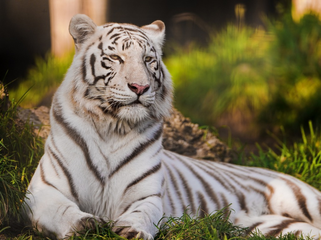 white tiger animal wallpaper - photo #27