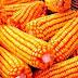 Vendas de milho verde movimentam entrepostos da Empasa