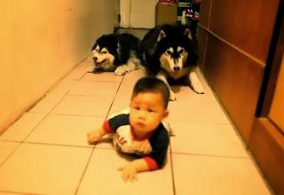 bebe chino aprendiendo a gatear con sus perros
