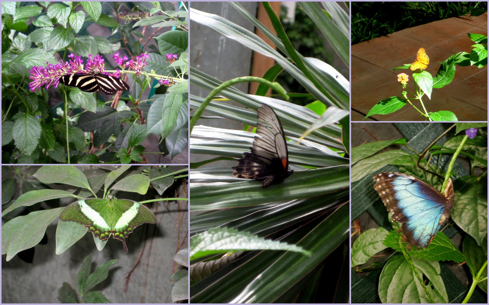 The Green Butterfly (lower Left), And The Giant Blue Butterfly (lower  Right) Were Two Of My Favorites. Iu0027d Never Seen Either, And Couldnu0027t Get  Enough Of ...
