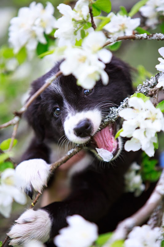 A very cute BC pup bites a branch of a flowering tree