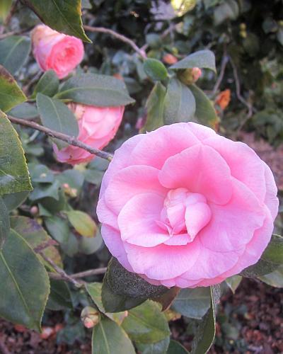 camellia japonica, happy holidays, huntington gardens