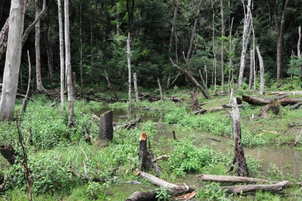 Breeding habitat of Microhyla aurantiventris sp. nov. at the type locality in Tram Lap forest, Gia Lai Province; note the dead trees due to construction of a new road across the forest.