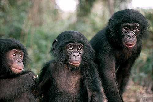 Bonobo Chimps