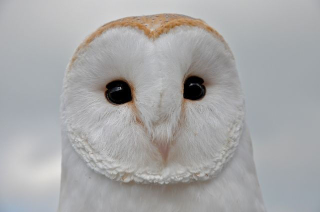 Baby barn owl images - photo#27