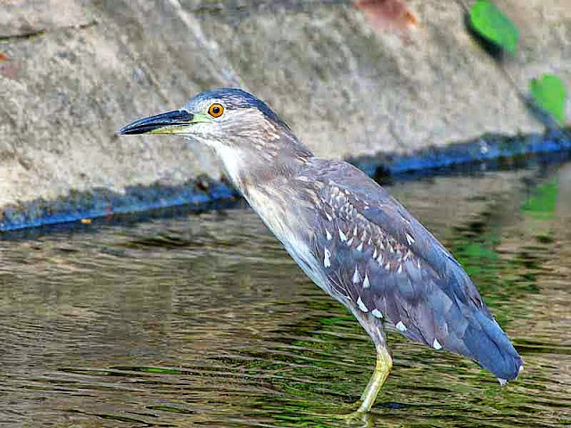 Black-crowned Night-Heron, grey in color