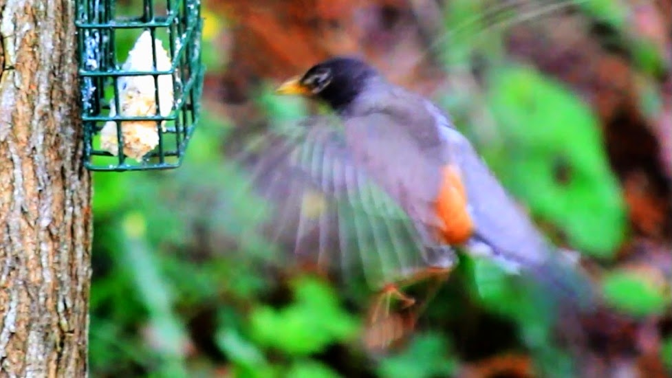 American Robin Hovers - Like A Hummingbird