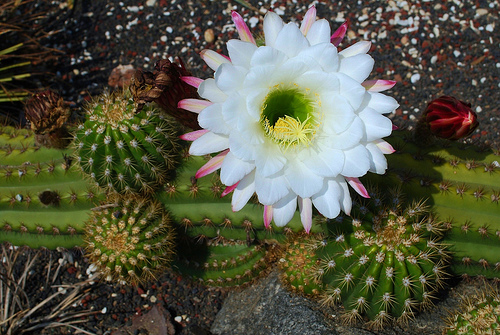 Flowers for flower lovers white cactus flowers images white cactus flowers images cactus plants are native to the americas and grow throughout the western and southwestern united states as far north as utah mightylinksfo