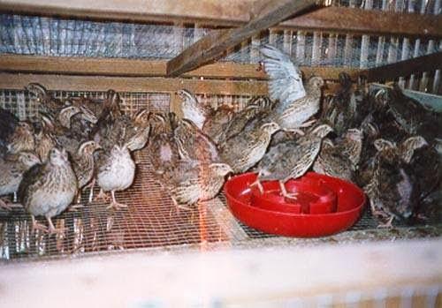 เลี้ยงนกกะทา ไข่ขายได้ เนื้อขายดี ขี้ก็ขายได้ กำไรงาม.......