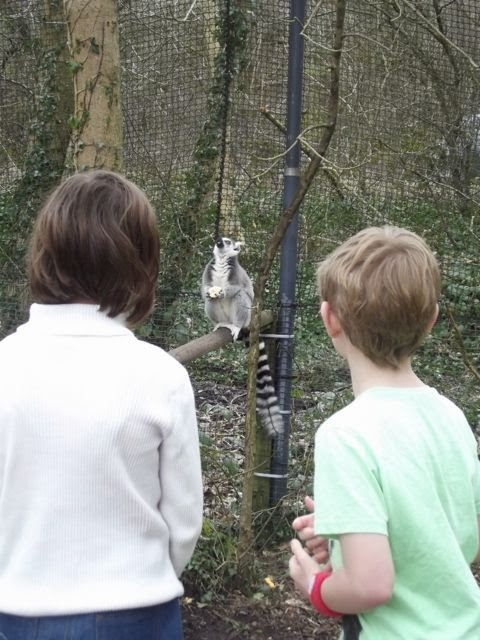 Watching the ring tailed lemur