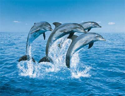 Een dolfijn in de zee