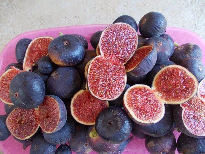 Mini Purple Fig