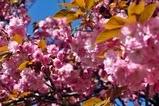 I květy třešní jednou pominou