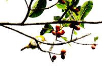 Gambar burung Kacamata limau, Zosterops citrinella - sebelumnya citrinellus]
