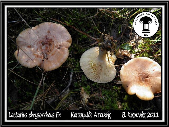 Lactarius chrysorrheus Fr.