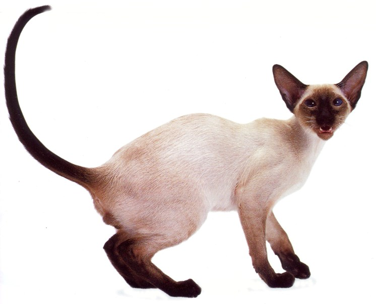 siamese cats home your cat will be happy siamese cats 746x602