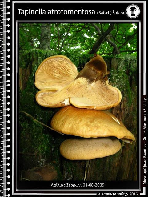 Tapinella atrotomentosa (Batsch) Šutara