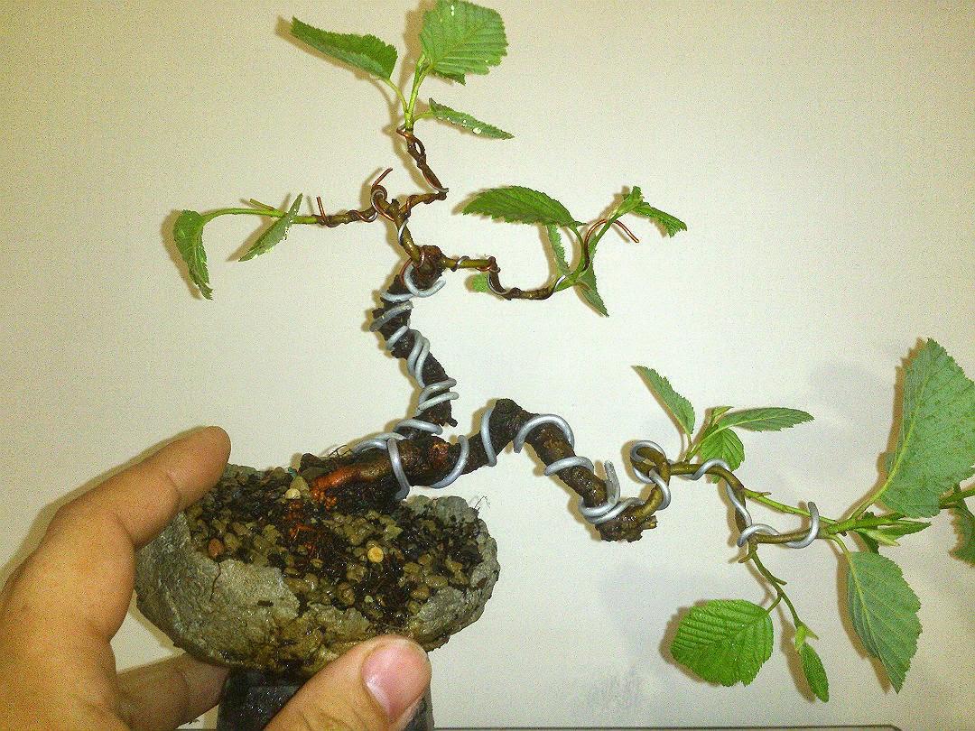 Как посадить бонсай не из семян в домашних условиях 574