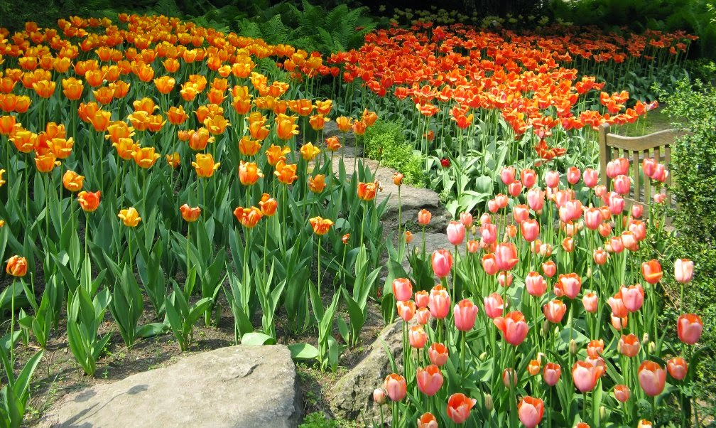 Royal Botanical Gardens massed tulips by garden muses-not another Toronto gardening blog